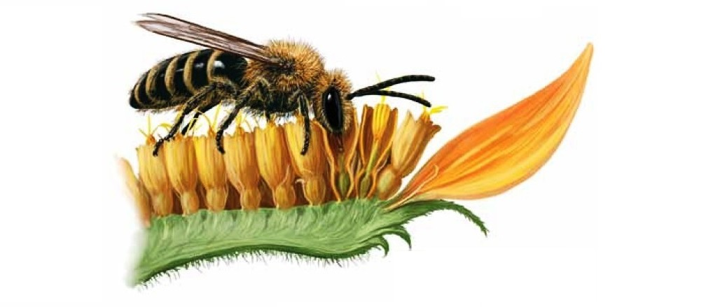 Illustration from Bee Basics: An Introduction to Our Native Bees, a joint effort between the Pollinator Partnership and the USDA Forest Service.