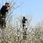 Chinese farmworkers pollinate fruit trees by hand.