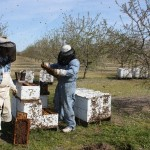 The honeybee colonies trucked in to pollinate this California almond farm can only survive here as long as the almond bloom lasts.