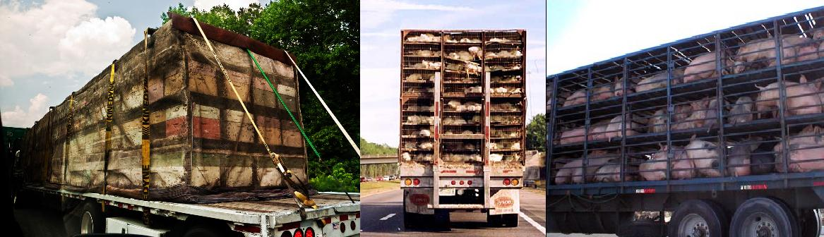 (L-R) Beehives shipped cross-country for commercial pollination services, chickens and pigs transported to slaughter.