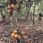 Cacao pods on the tree, awaiting harvest.