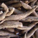 Cassava, also known as manioc root, is a dominant food among third world nations.