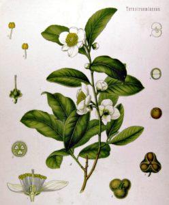 Tea plant (Camellia sinensis) from Köhler's Medicinal Plants, 1897.