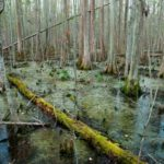 Maroons often settled in regions which were unsuitable for agriculture, such as the Great Dismal Swamp. (Photo by Allison Shelley for Smithsonian Magazine)